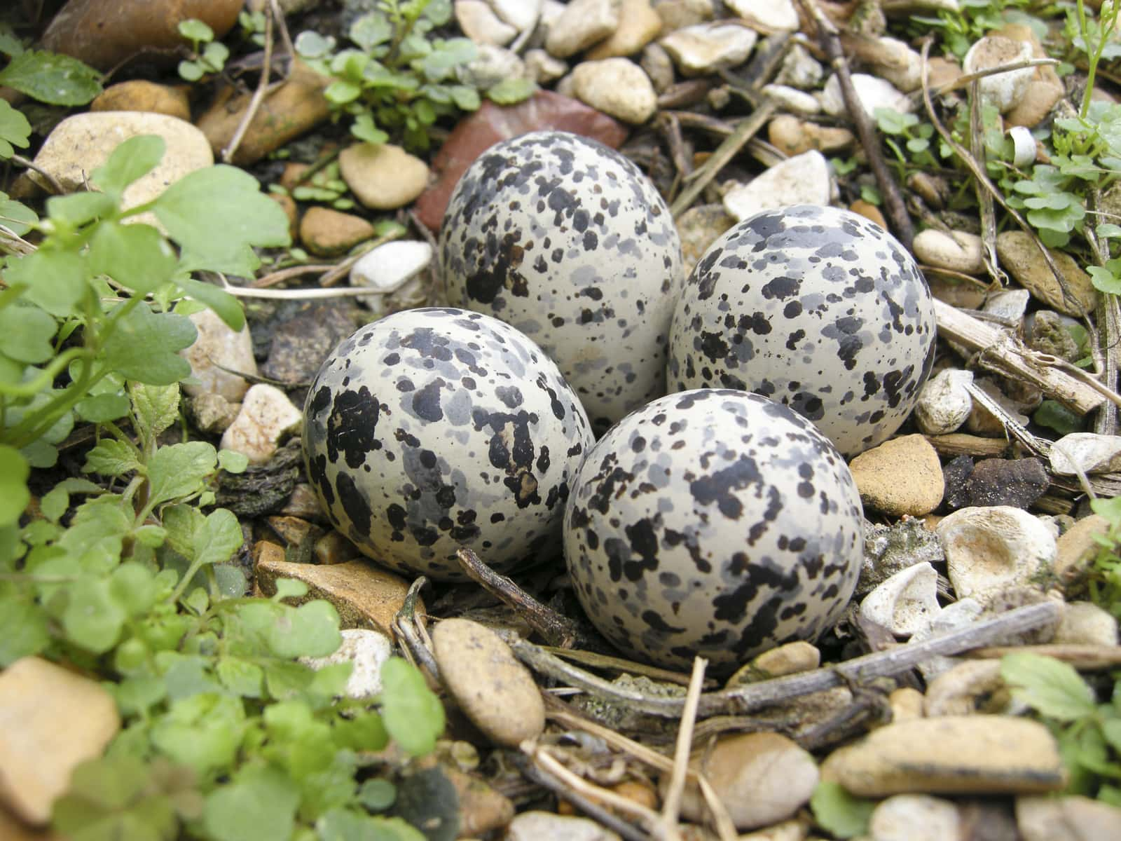 Killdeer Bird Eggs by Matthew T Rader