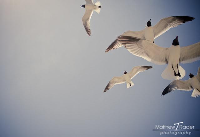 Flying Seagulls on Galveston Island
