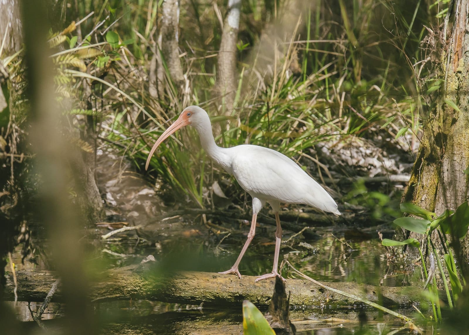 American white ibis, a white bird in the Everglades by Matthew T Rader