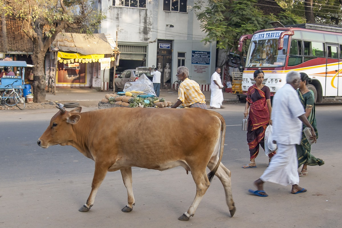 A cow walking in the streets of Chidambaram, India