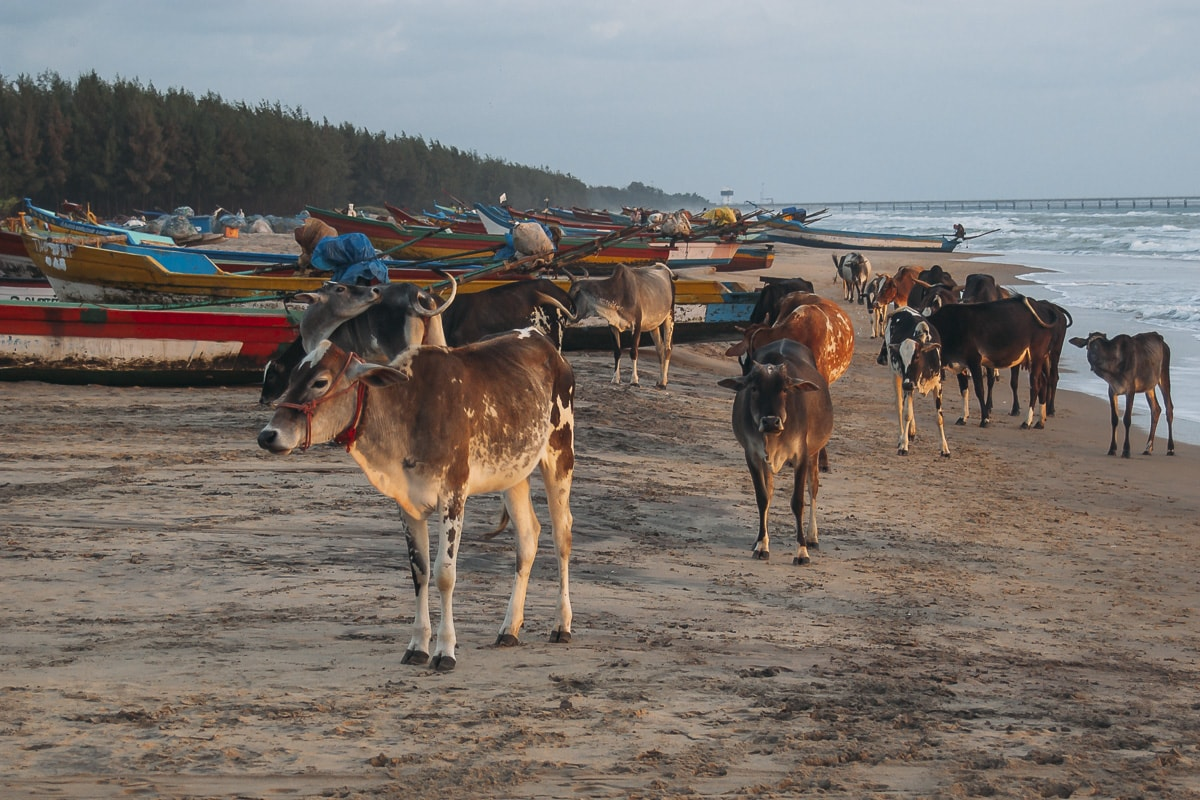 Cows wondering around on Nagapattinam Beach