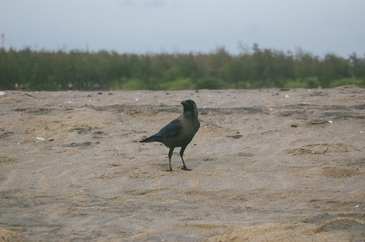 A brid on Nagapattinam Beach