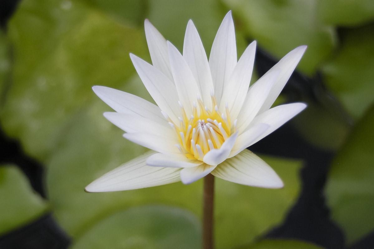 A lotus flower in Salem, India