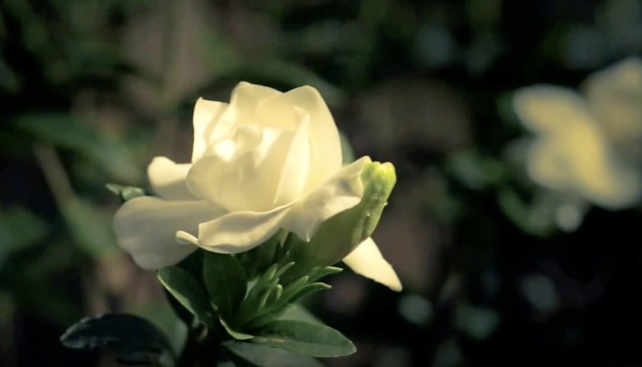 Time-lapse of a Blooming Gardenia