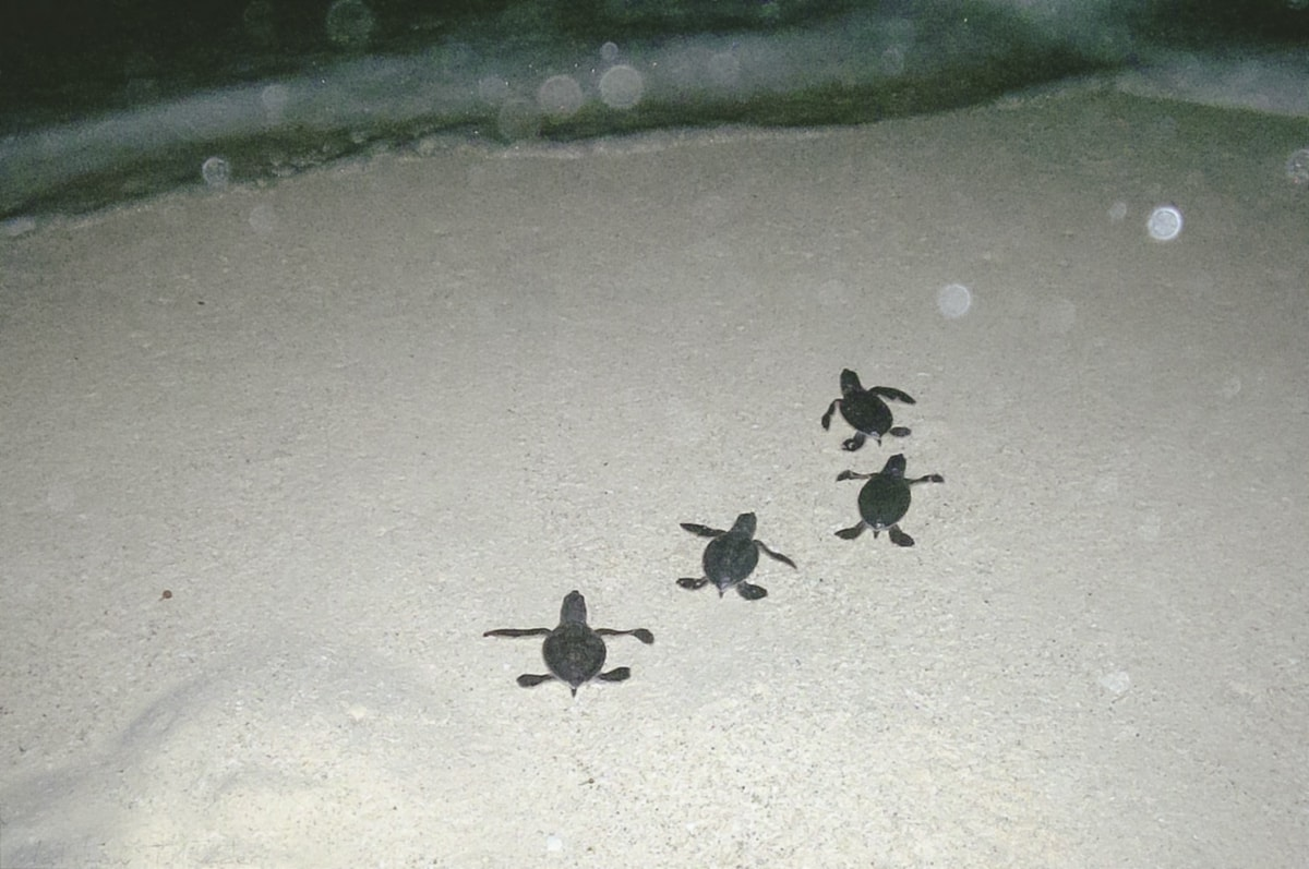 Baby turtles in Cancun, Mexico