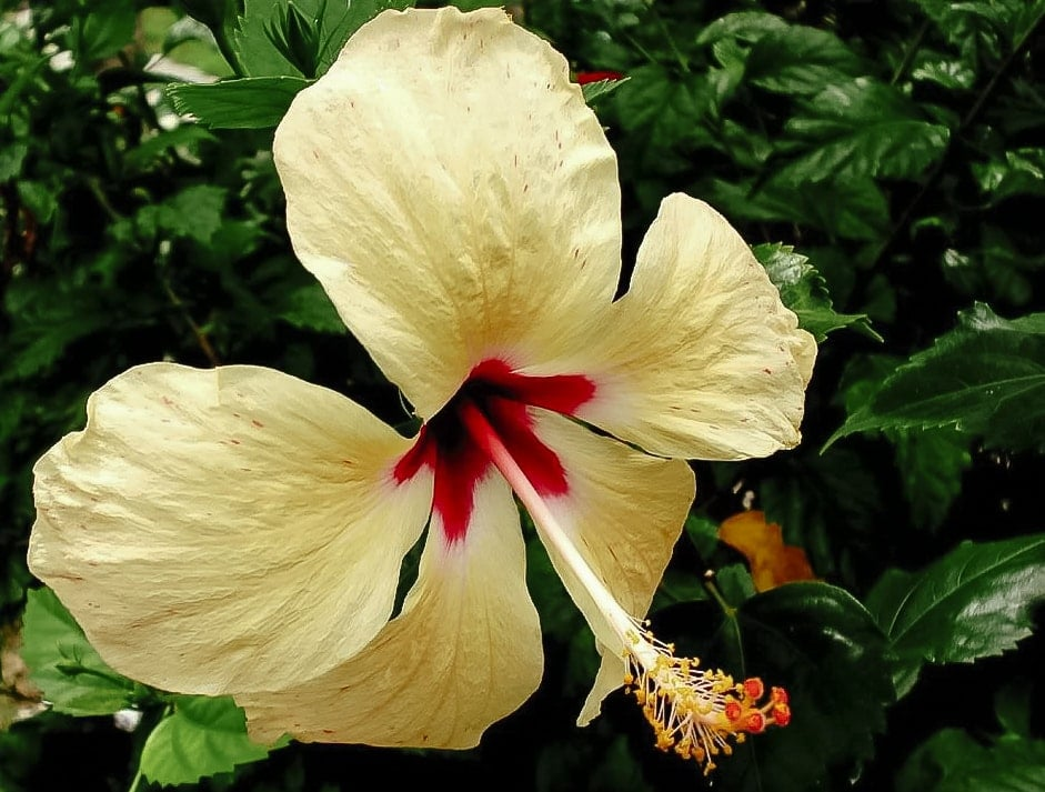 Hibiscus flower in Cancun, Mexico
