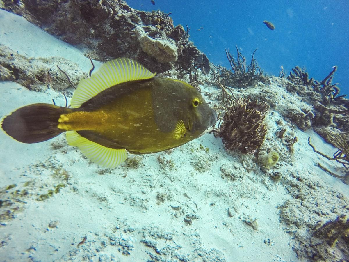 Whitespotted Filefish in Cozumel
