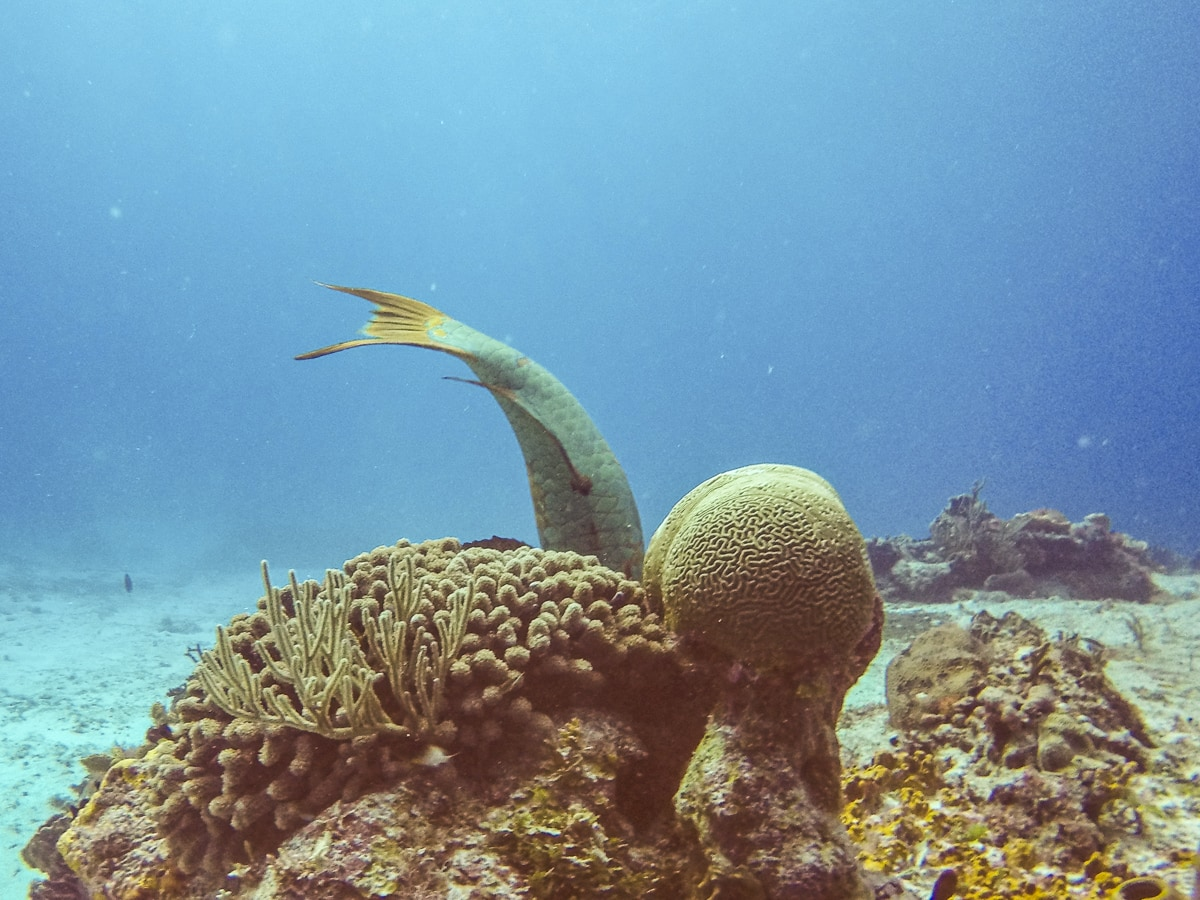 Coral and a parrotfish in Cozumel