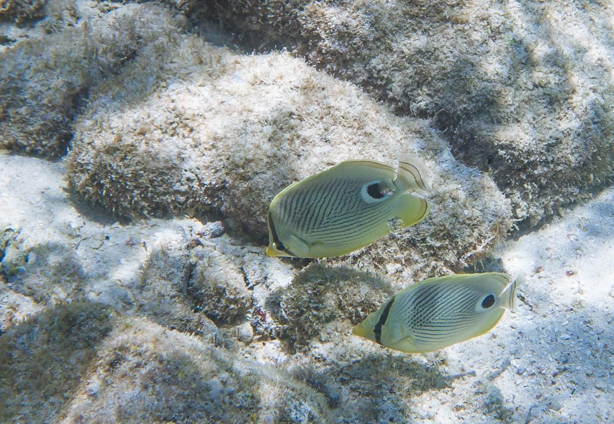 Four Eye Butterflyfish in Curacao