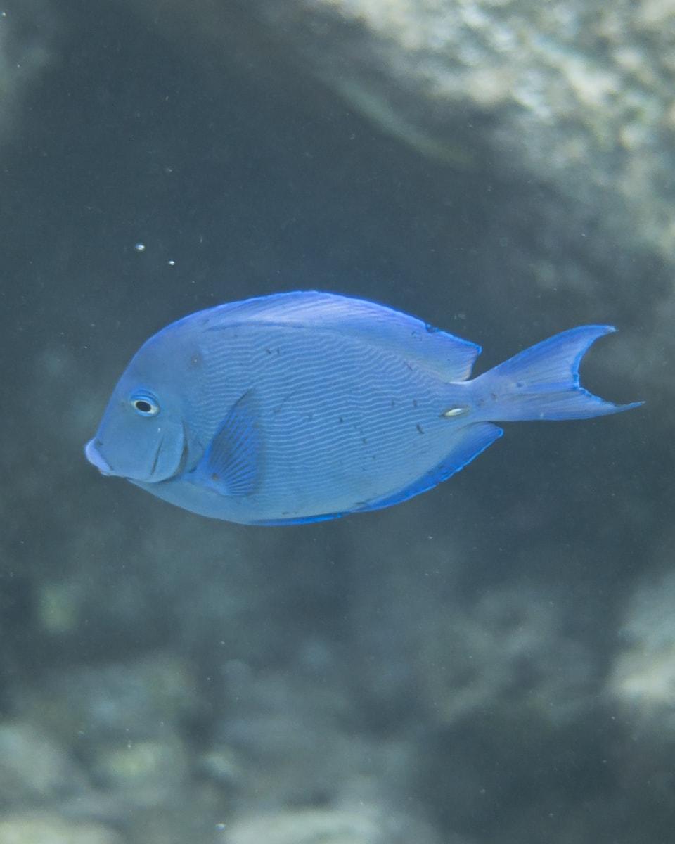 Atlantic Blue Tang fish in Curacao