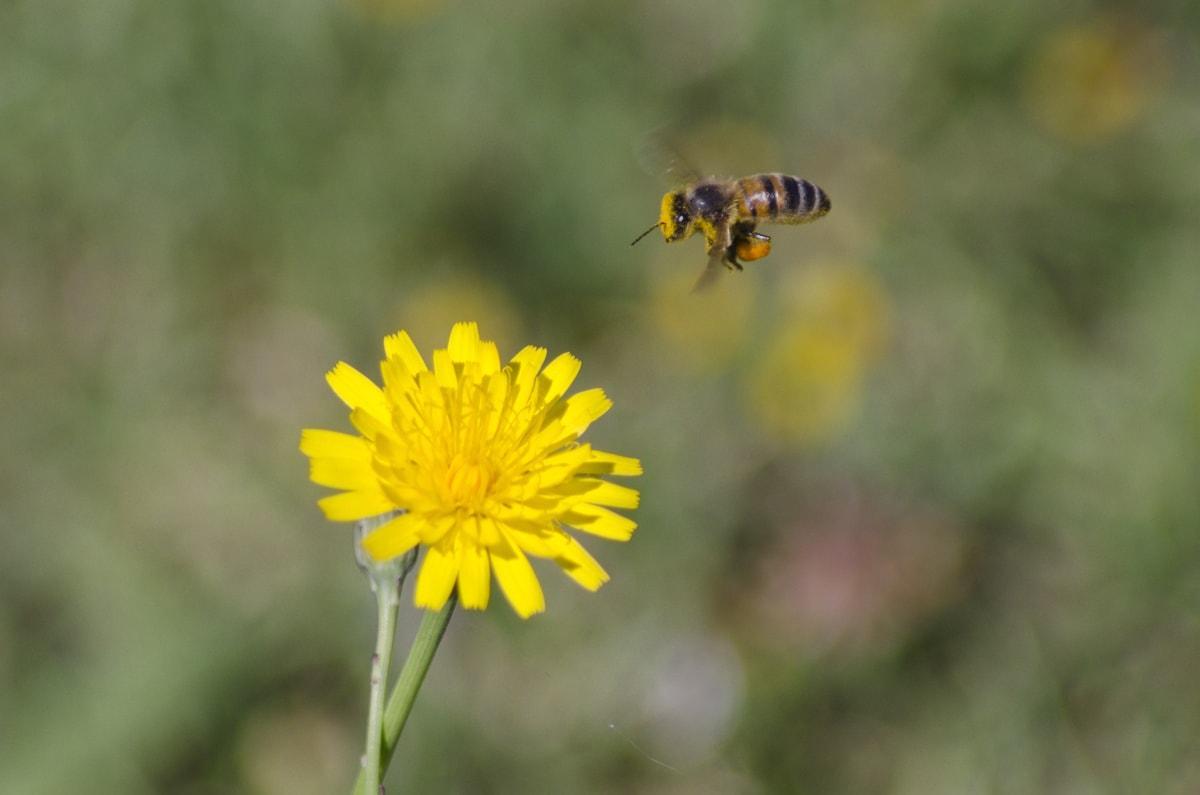 A bee in Healesville, Australia