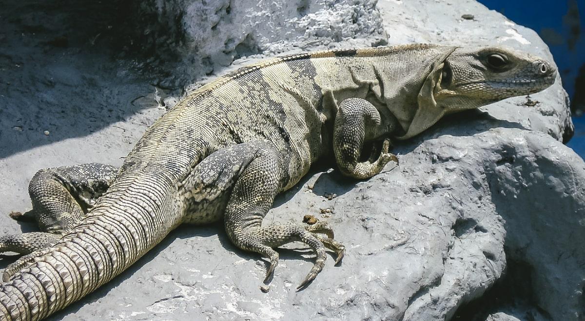 An iguana in Cancun