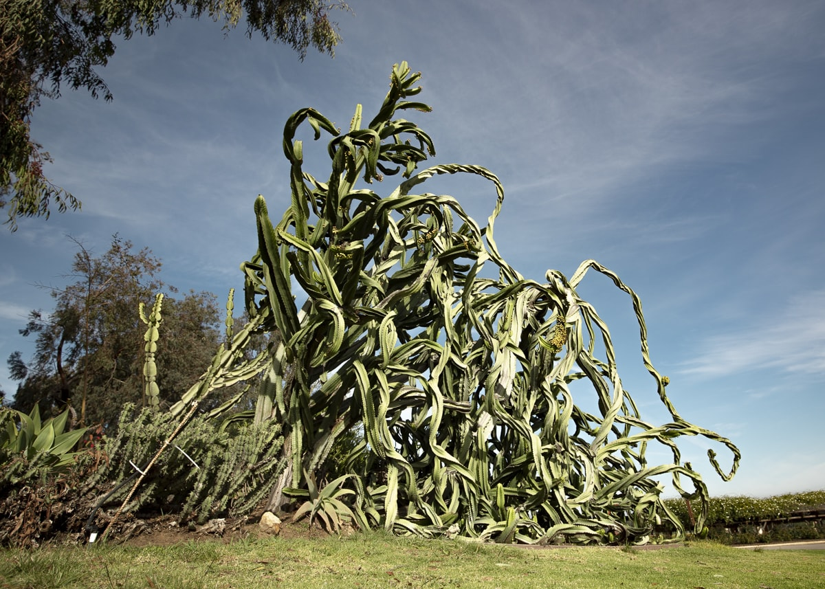 A massive crazy cactus formation at Balboa Park