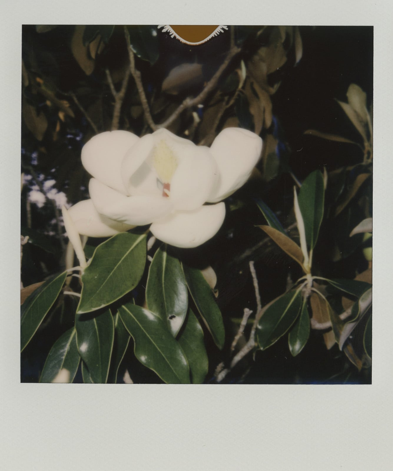 A beautiful blooming Magnolia flower Polaroid photos