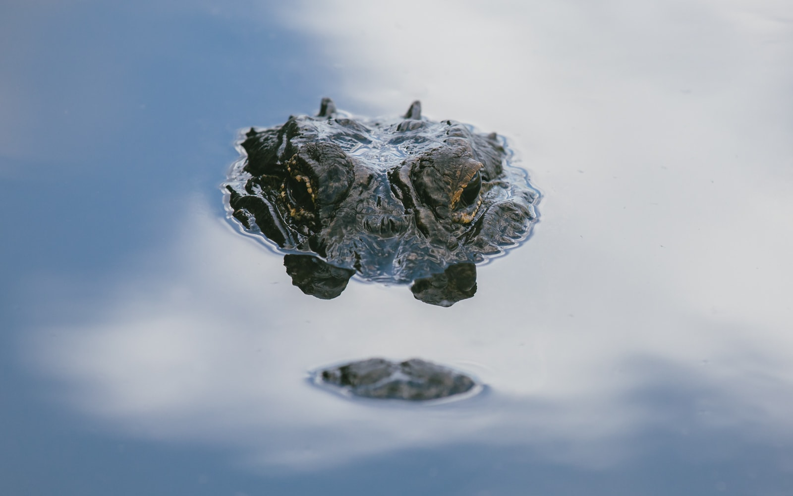 An Alligator peeking above the water in the Florida Everglades