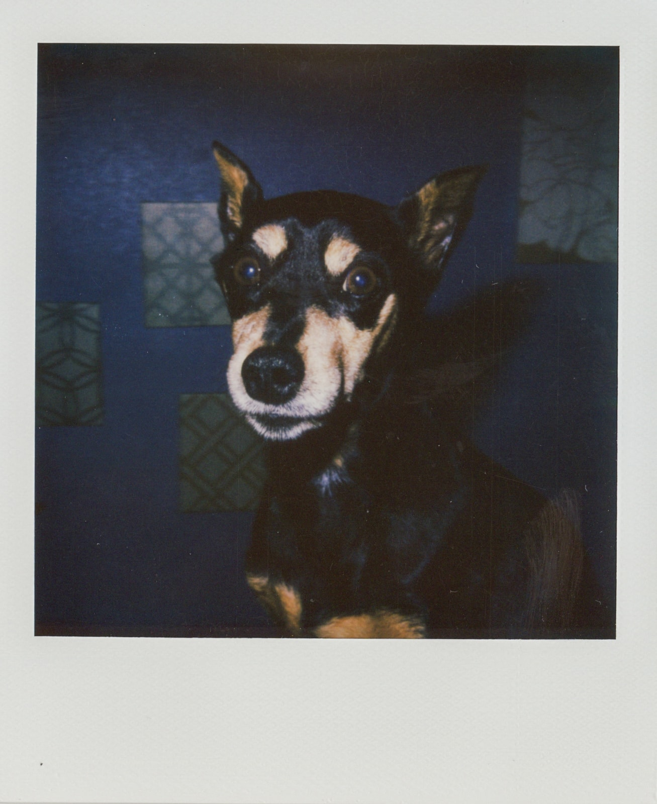 A Polaroid portrait of my miniature pinscher in Rockwall, Texas. Best Photos of 2020.