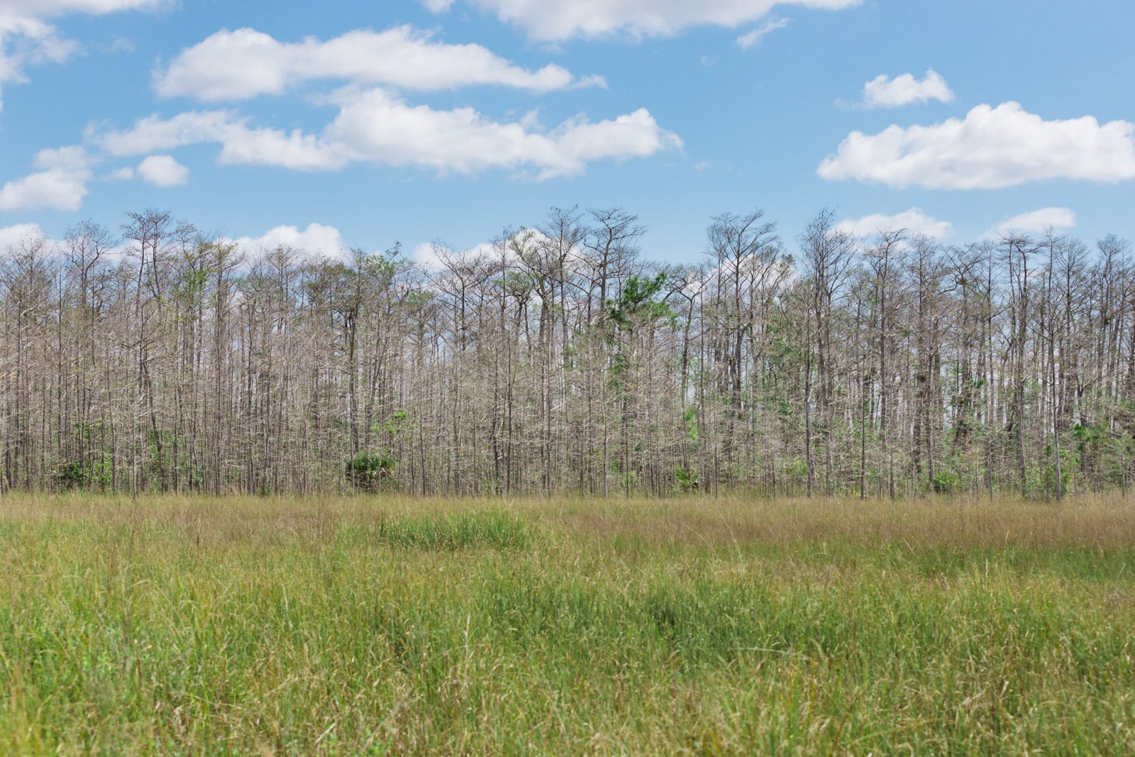 Everglades Sawgrass Prairie and Slash pine trees
