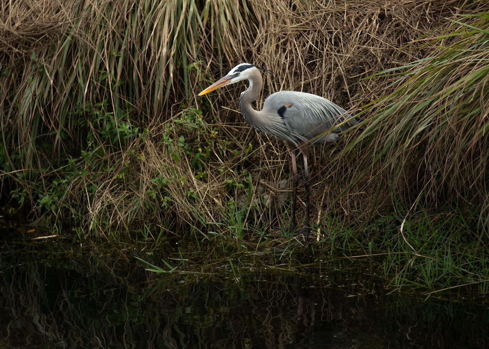A Great blue heron on the bank of a creek in the Everglades