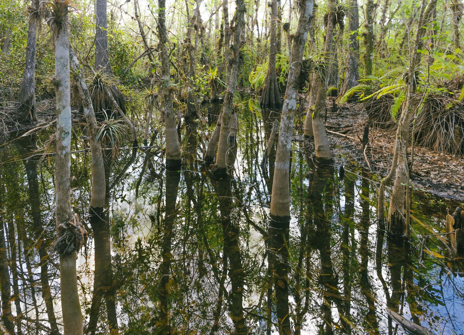 Everglades mangroves swamp