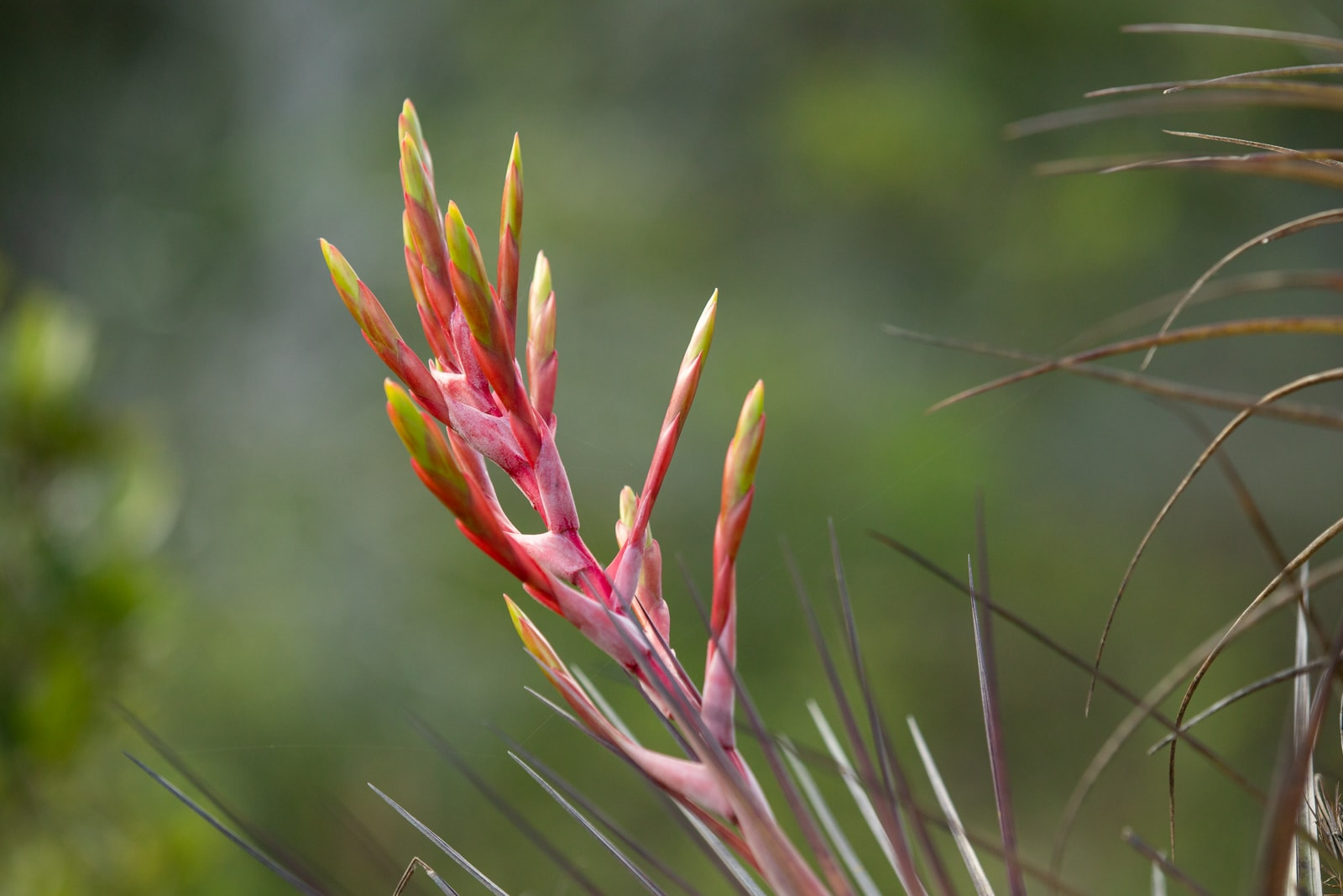 A wild Cardinal air plant (Tillandsia fasciculata) in the Everglades
