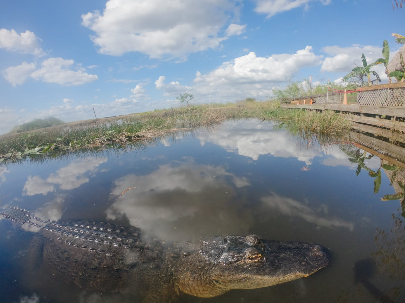 An alligator in the Everglades