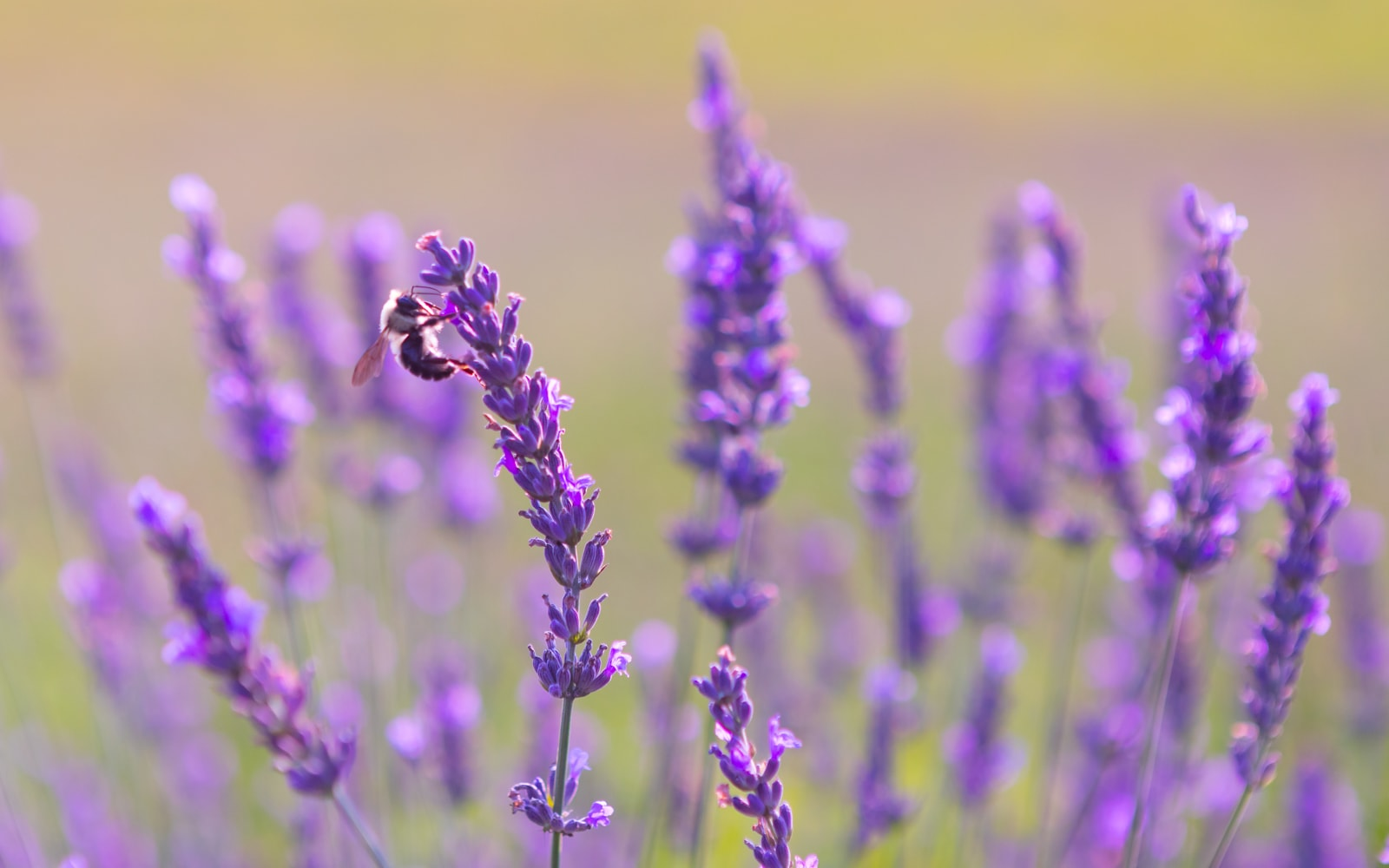 Honey bee pollinating a lavender flower