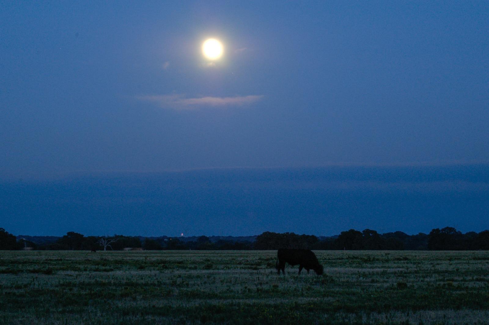 A cow eating grass at dawn