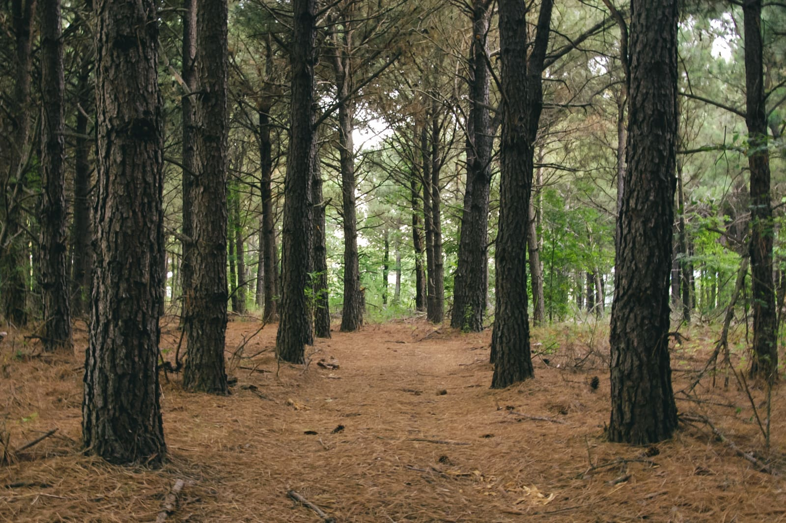A pine forest in East Texas