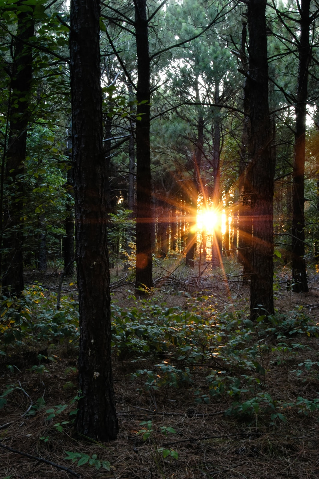 Rays of sunlight peering through a pine forest