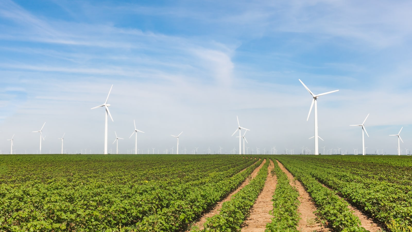 Cotton crops with wind turbines