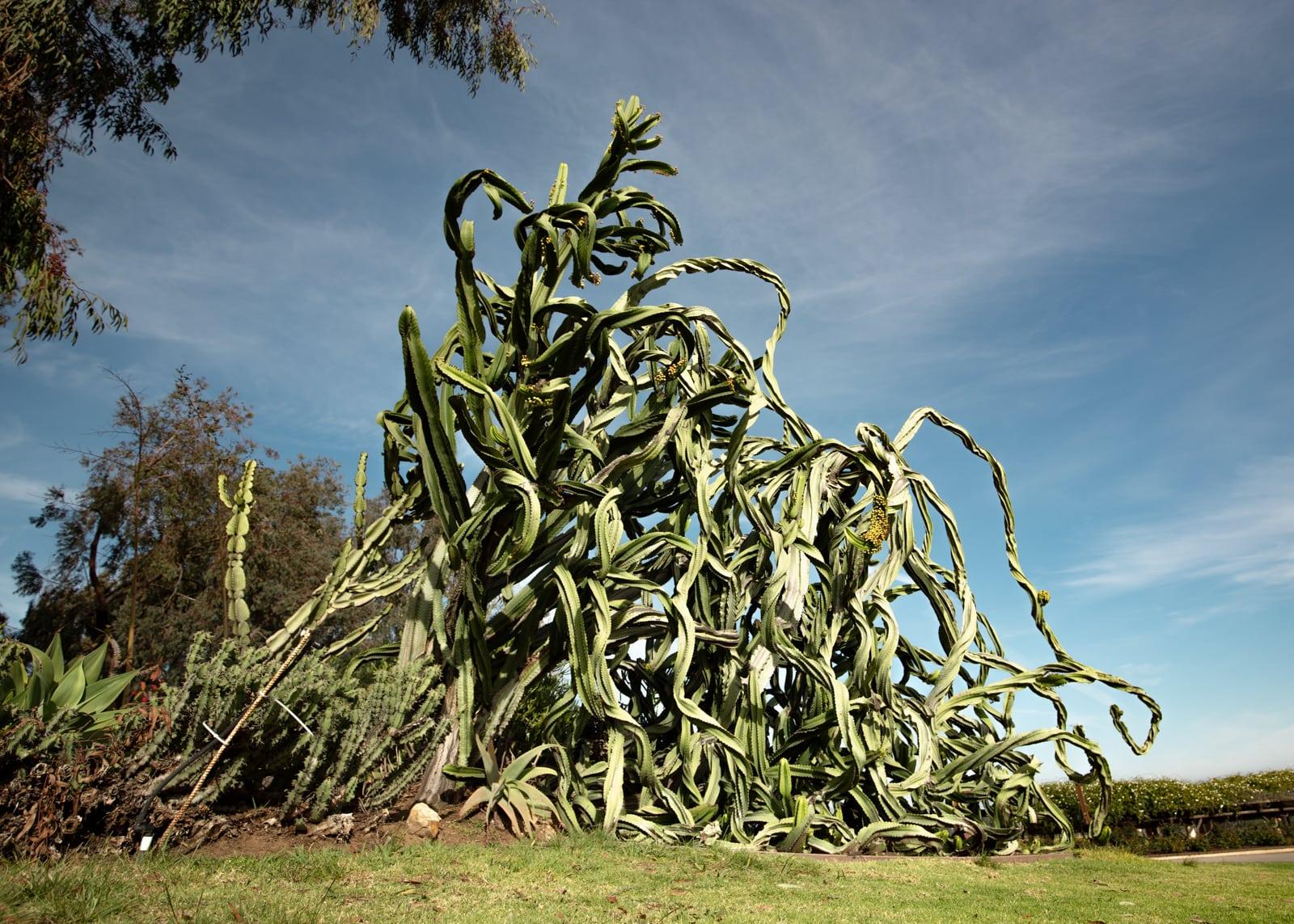 Candelabra tree (Euphorbia ingens) at the Desert Garden, Balboa Park, San Diego