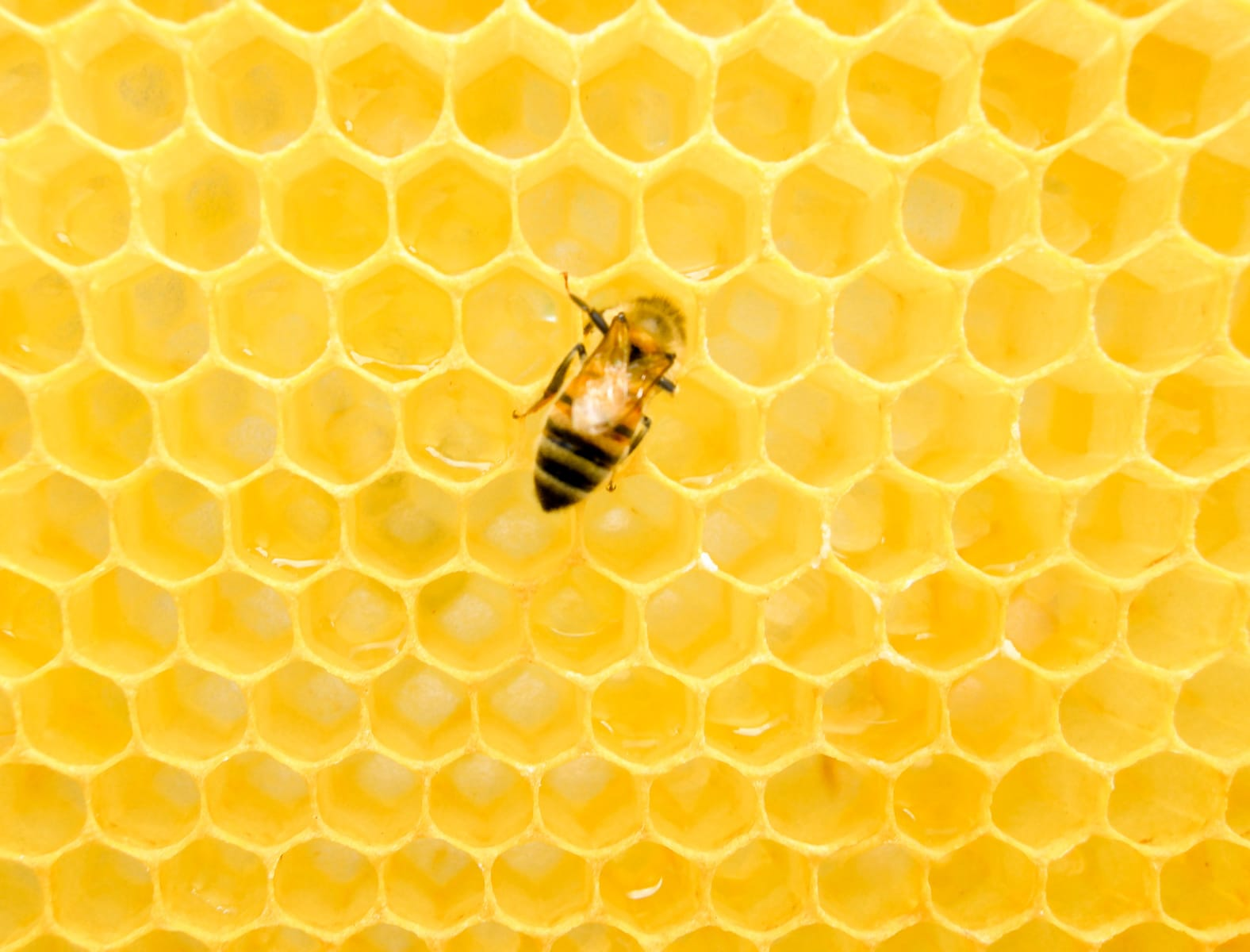 Beekeeping with a Honey bee on a honeycomb