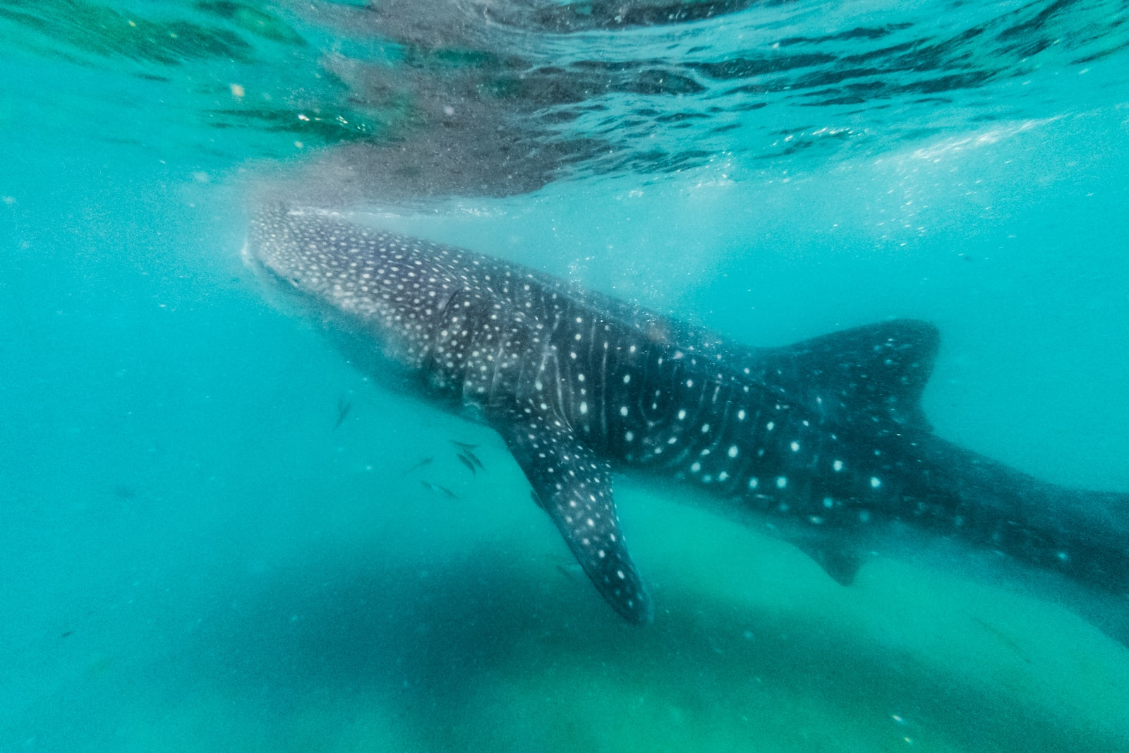 Swimming with Whale Sharks In the Sea Of Cortez In La Paz, Mexico