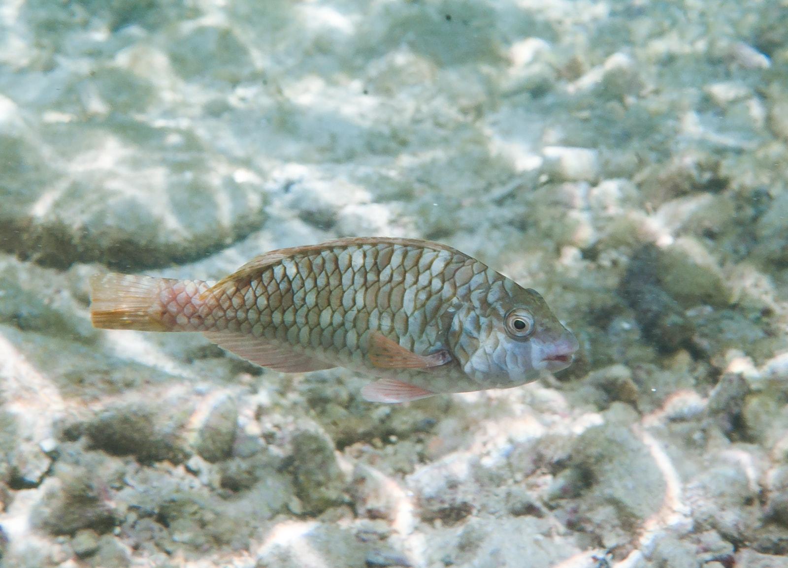 Yellowtail Parrotfish (Sparisoma rubripinne)