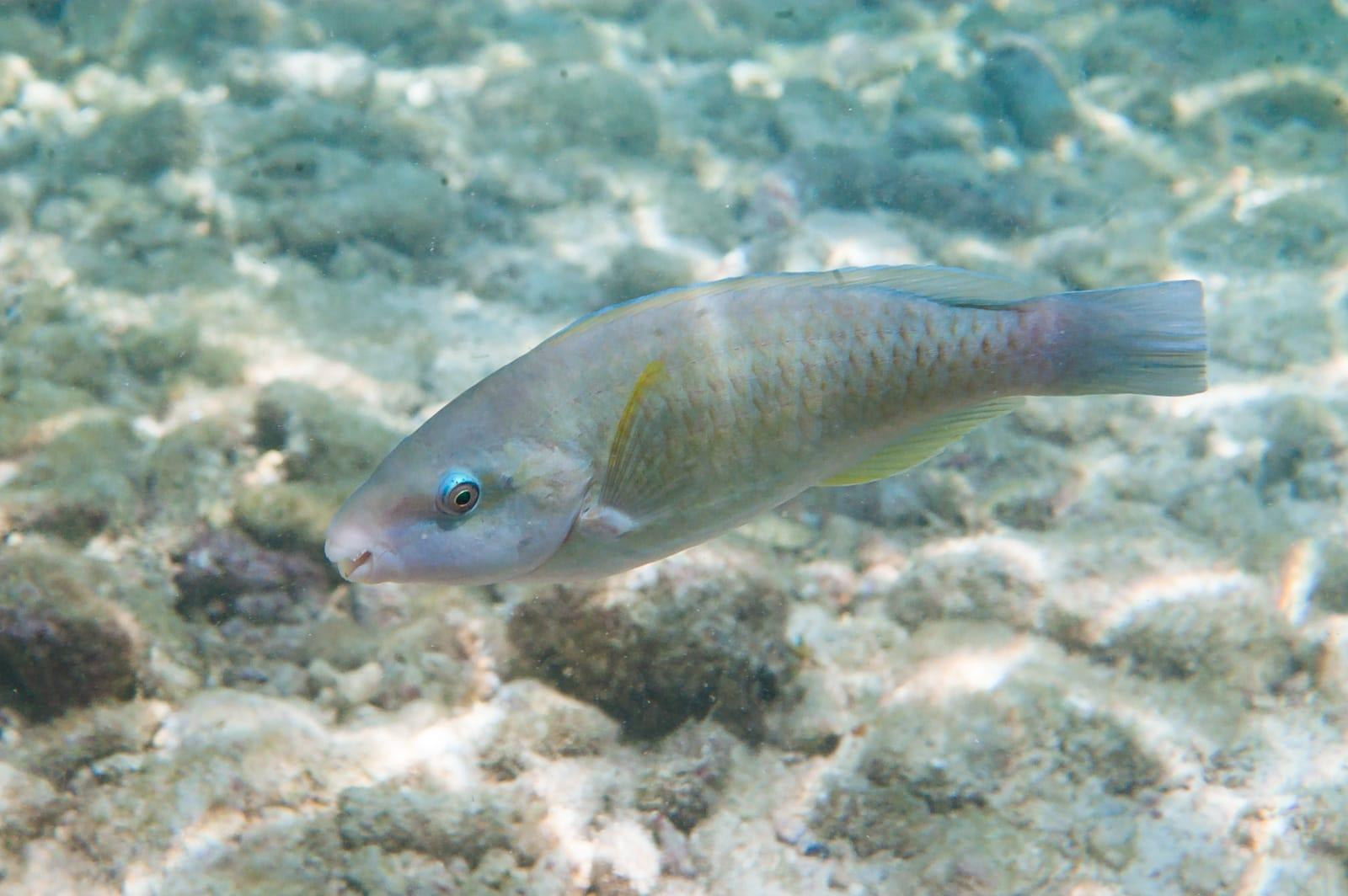 Albino princess parrotfish (Scarus taeniopterus) in Curaçao