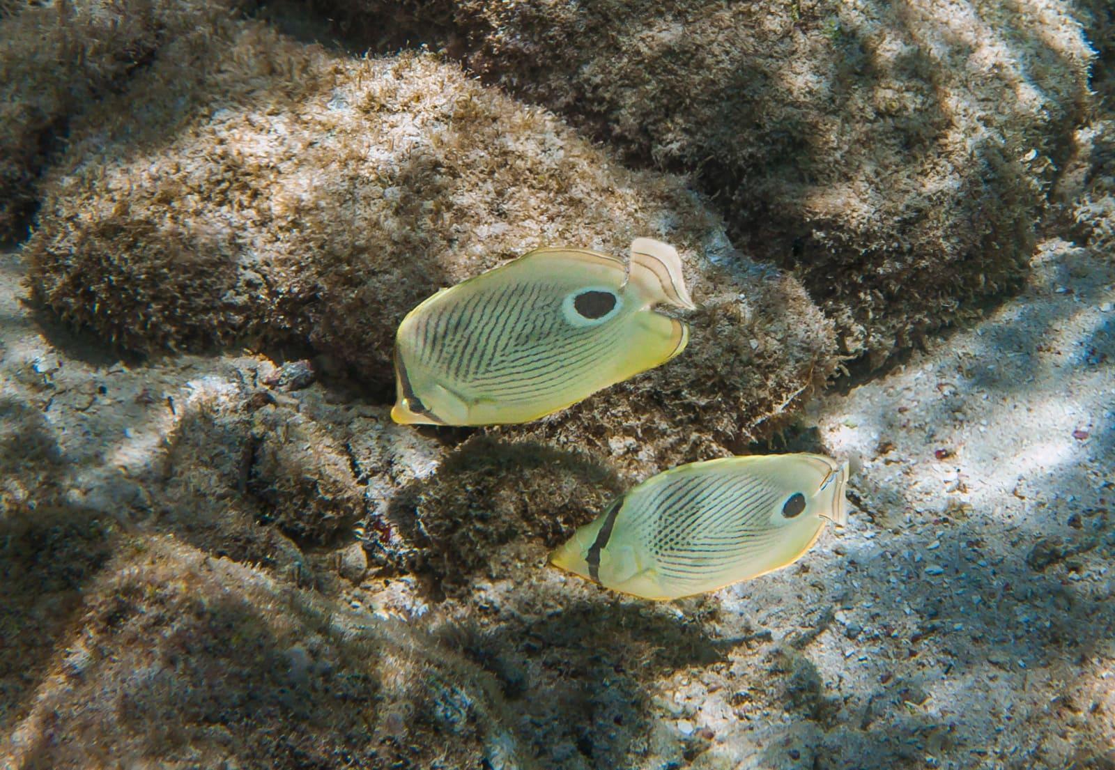 Foureye butterflyfish (Chaetodon capistratus) in Curacao