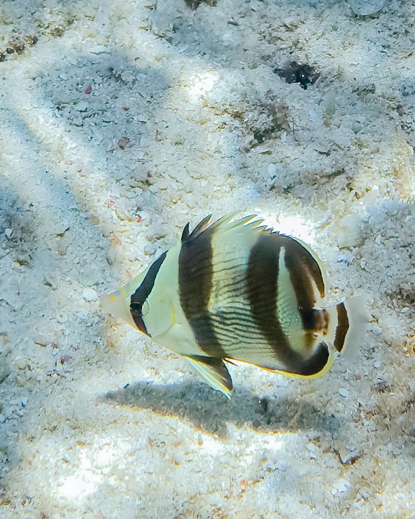 Banded Butterflyfish (Chaetodon striatus) in Curacao