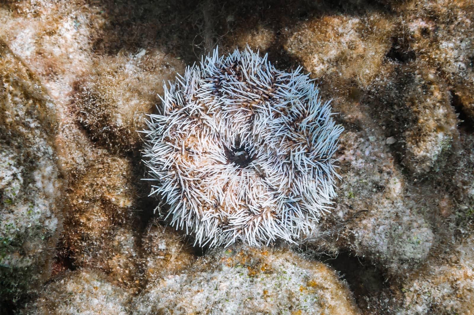 White sea urchin (Tripneustes ventricosus)