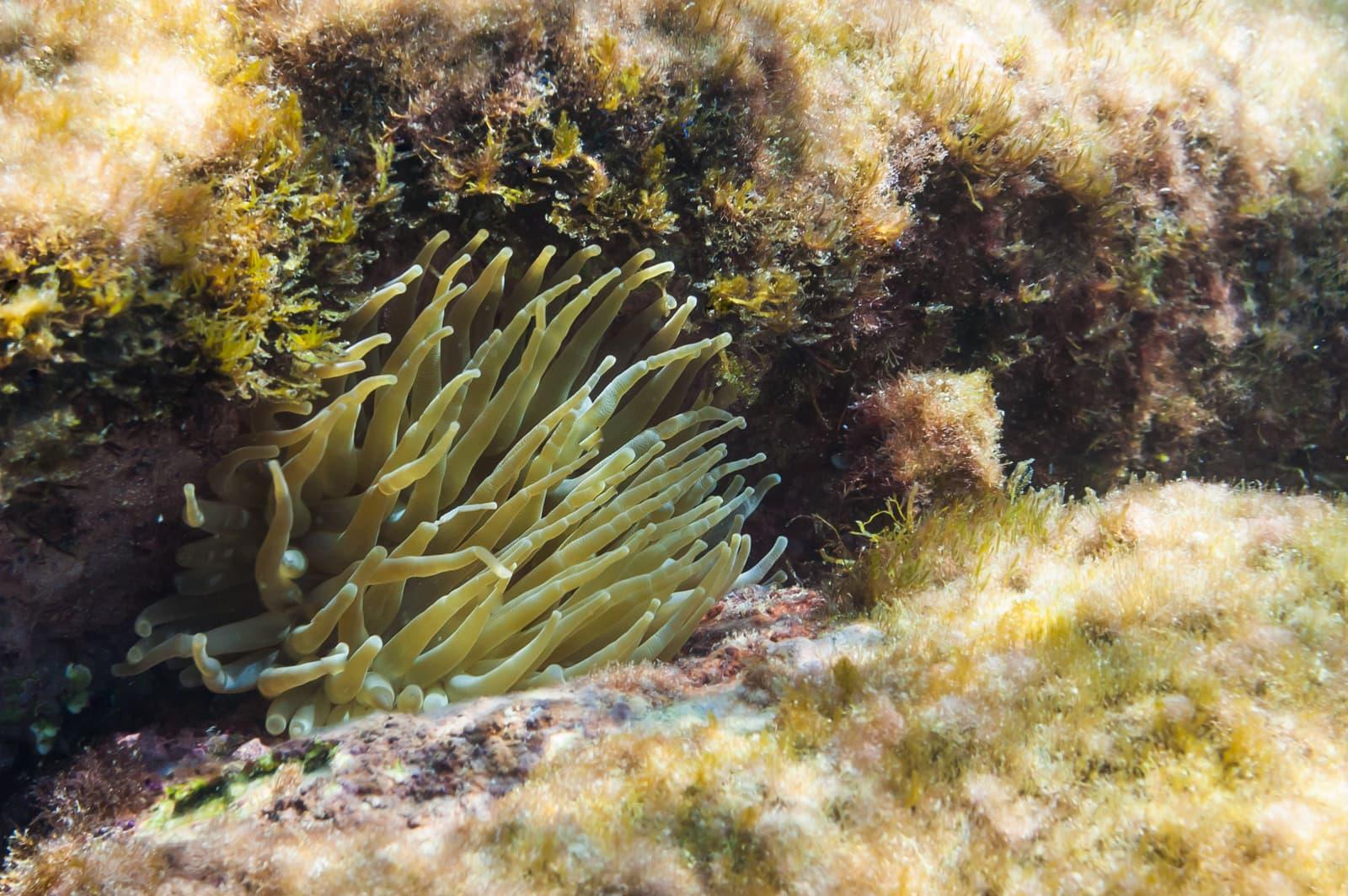 Giant Caribbean Sea Anemone (Condylactis gigantea)