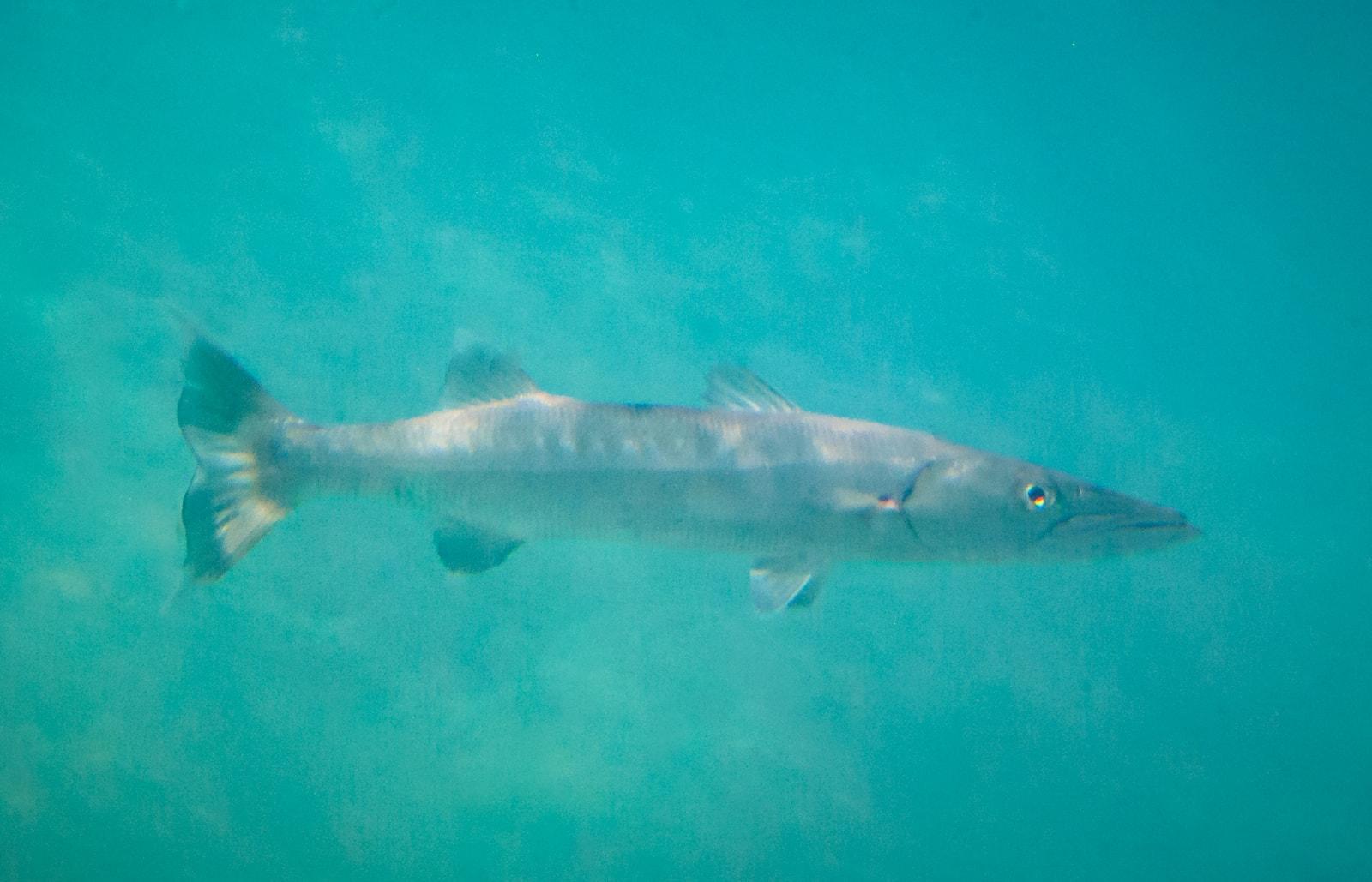 The Great barracuda (Sphyraena barracuda), Underwater Photography