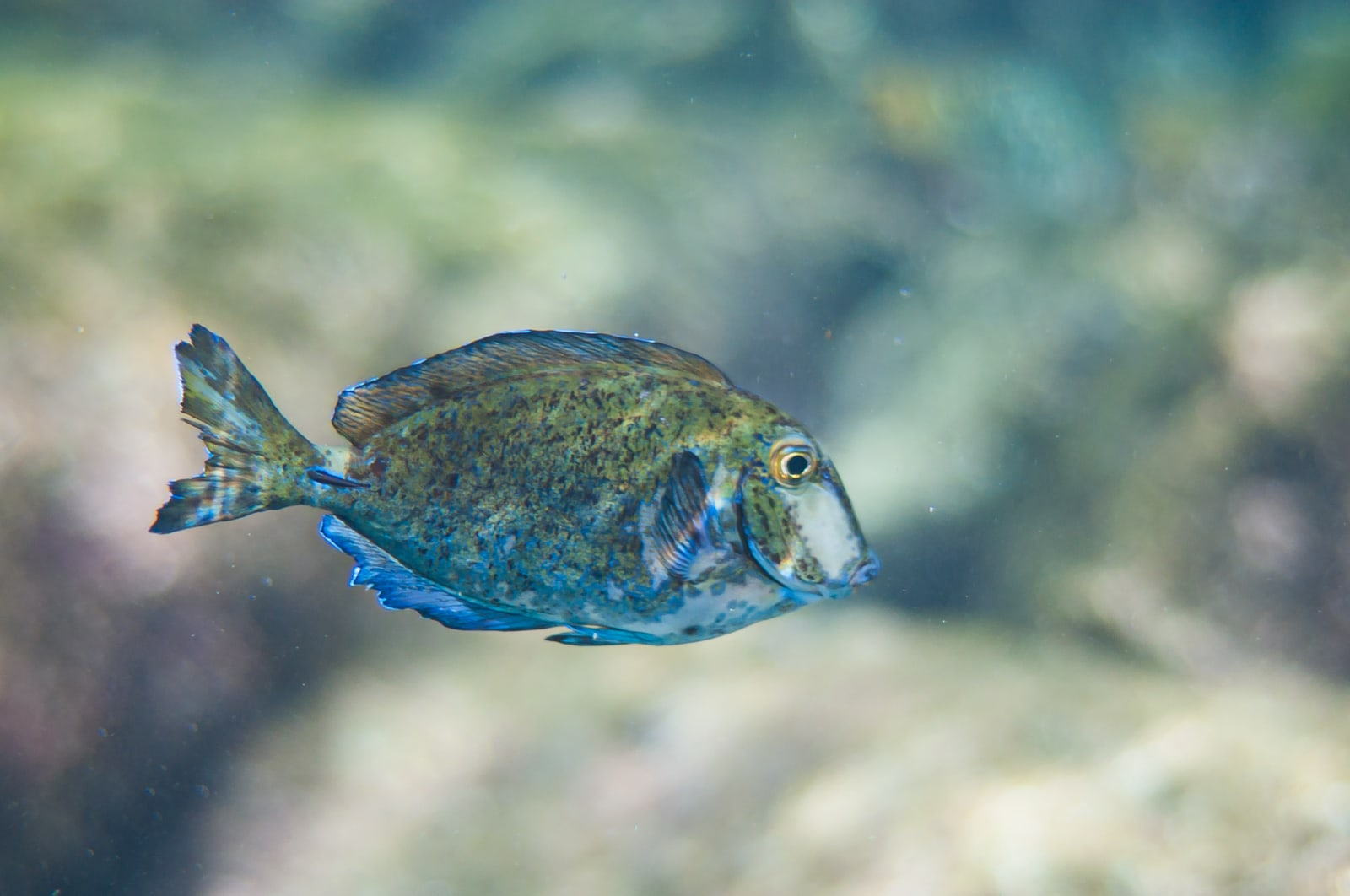 Doctorfish tang (Acanthurus chirurgus) in the Caribbean Sea