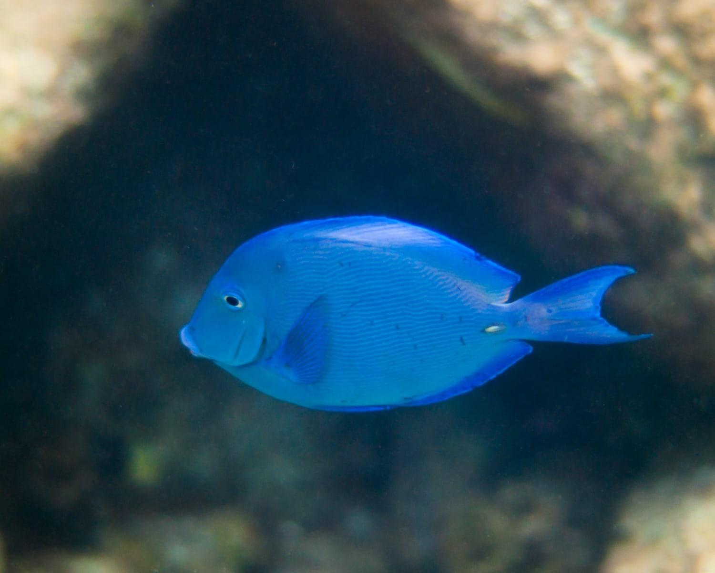 Atlantic Blue Tang (Acanthurus coeruleus) in the Caribbean Sea